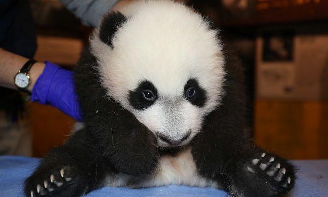 Tündéri videó: hisztizni kezdett a pandabocs, mert anyja nem rá figyelt