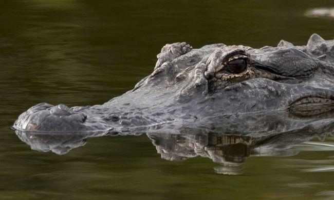 Gazdájára támadt a krokodil, a turisták azt hitték, ez is a show része