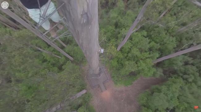 Életveszélyben: felvették, ahogy megmásznak egy 75 méteres fát