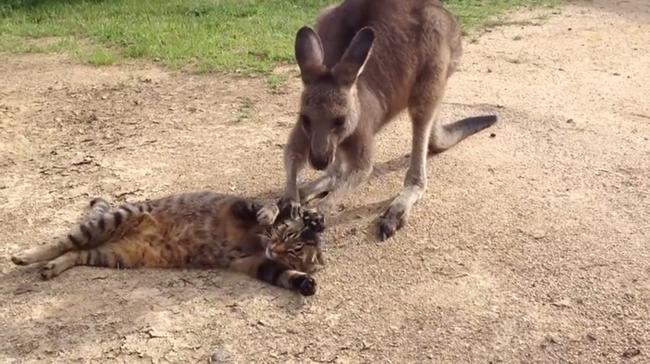 Hihetetlen küzdelmet folytat a kenguru egy cica barátságáért - videó