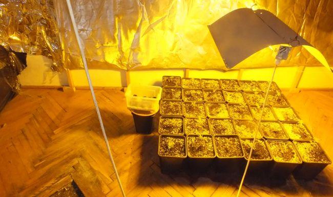 Otthon termesztett kábítószert