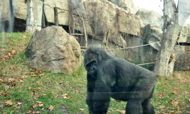 Nem emelnek vádat az anya ellen, akinek a kisfia beesett a gorillához