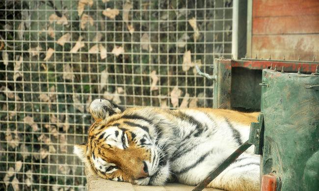 Hiába kért segítséget, halálra marta gondozóját a tigris