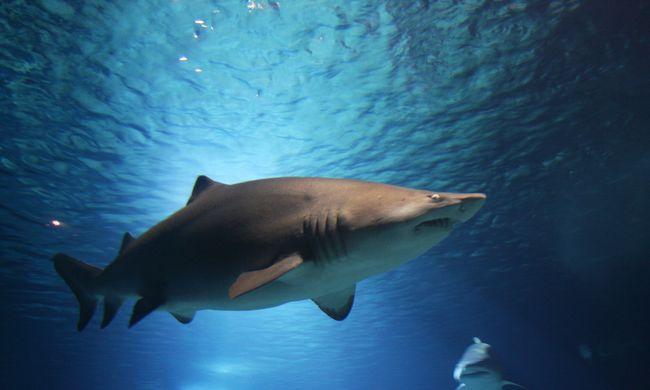 Cápa ugrott a szörfös deszkájára