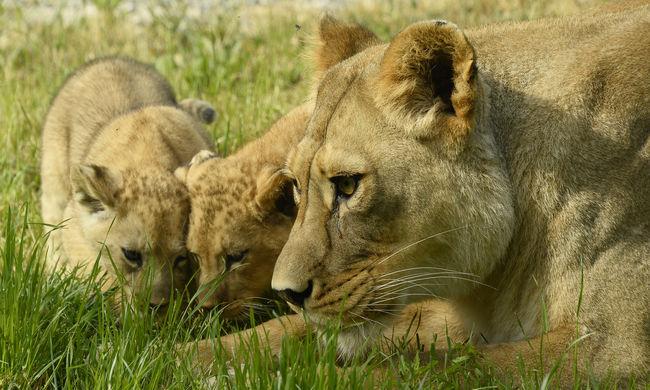 Orvvadász-botrány: saját vadászaitól védi az oroszlánokat az USA