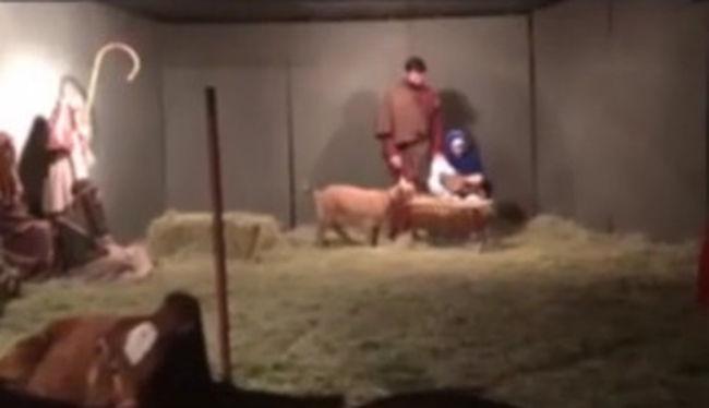 Így tette tönkre egy kecske a betlehemi jelenetet - videó