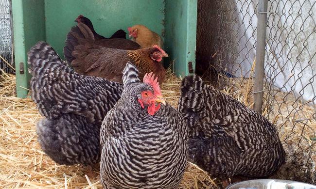 Csirkékkel árasztotta el az adóhivatalt az ideges férfi