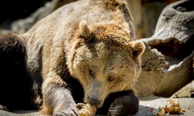 Háztetőkön menekülő medvét lőttek agyon