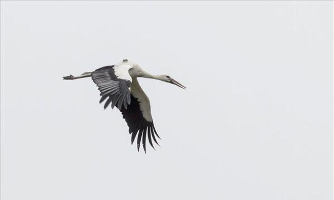 Így hívják a gólyát, amelyik nem repült el, hanem maradt