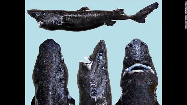 Nindzsa lett az új cápafaj neve