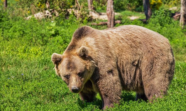 Grizzlymedve lökött le egy embert a bicikliről a parkban, és megölte