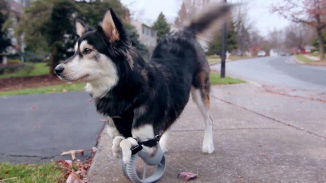 3D-nyomtatóval készült lábakon jár Derby, a kutya