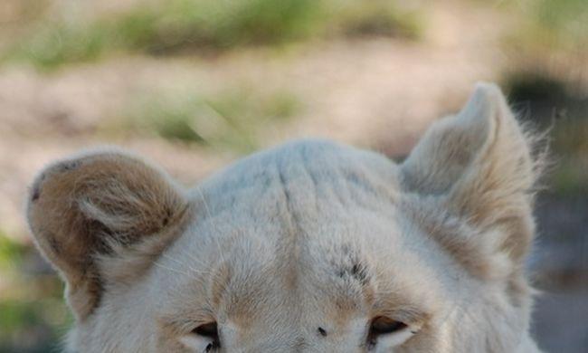 Karácsonyi csoda: kölykei születtek az ivartalanított oroszlánnak