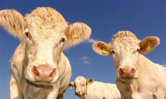 Egymás után pusztulnak el a marhák az időjárás miatt
