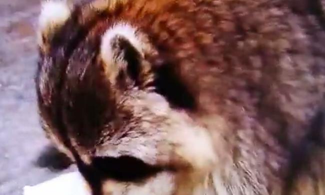 Pocsolyában végezte a szerencsétlen mosómedve uzsonnája - videó