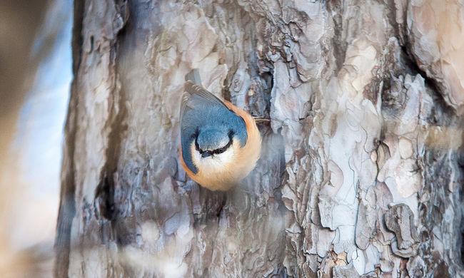 Figyelnünk kell, ha kopogtatnak: a madarak idegesítő szokása az életükbe kerülhet