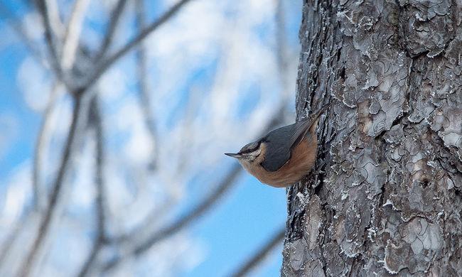 Ingyenes okostelefonos alkalmazás segít a madarak felismerésében