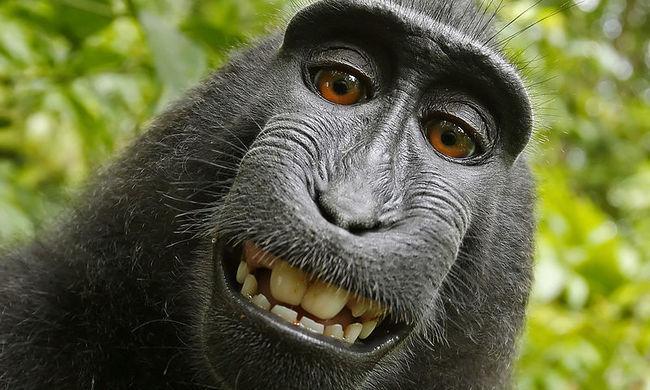 Elvesztette a pert a szelfiző majom