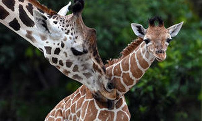 Megdöbbentő módon pusztult el egy zsiráf az állatkertben