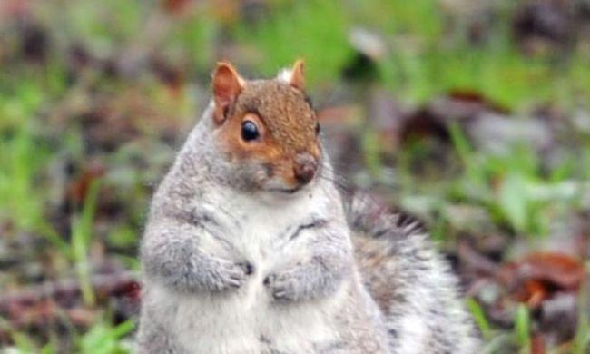 Meghíztak a mókusok az enyhe tél miatt