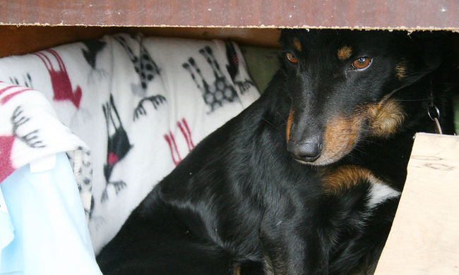 Mérgezik a kutyákat Békéscsabán