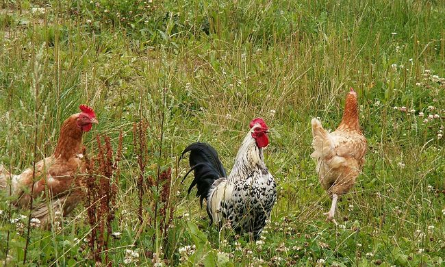 Öreg tyúkokat árul a csirkemaffia
