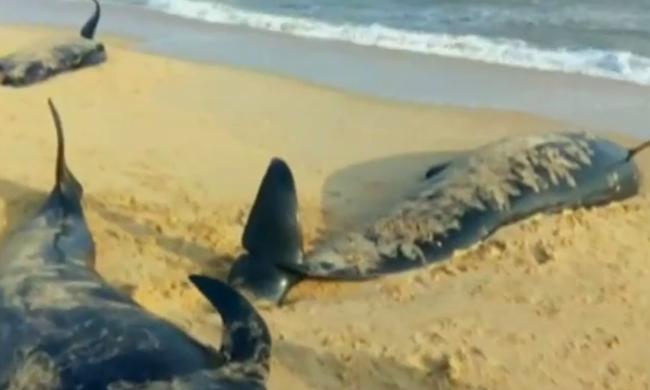 100 bálnát mosott partra a víz - videó
