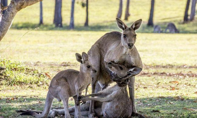 Nem gyászolta a kenguru a társát, hanem megölte