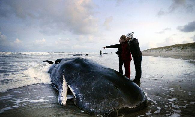 Elpusztultak a Hollandiában partra vetődött ámbrás cetek
