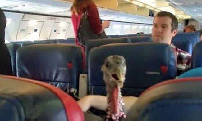 Pulykával utazott a repülőn, hogy ne féljen