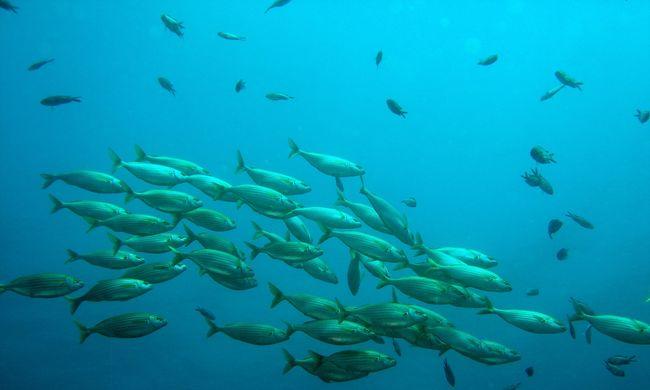 Rájöttek a kutatók, miért jeleznek egymásnak a halak