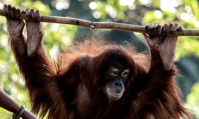 Ebolával fertőzték a majmokat, az új szertől meggyógyultak