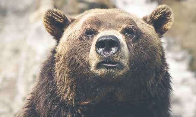Az enyhe időjárás miatt nem alszanak téli álmot a medvék