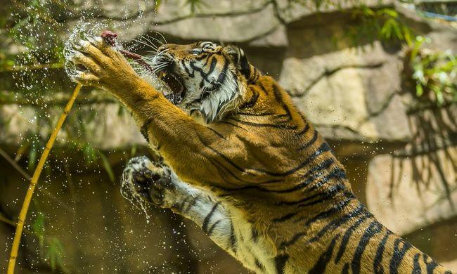 Tigristámadás az állatkertben