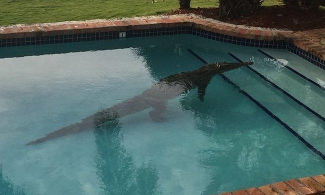 2,5 méteres krokodil volt a kerti medencében