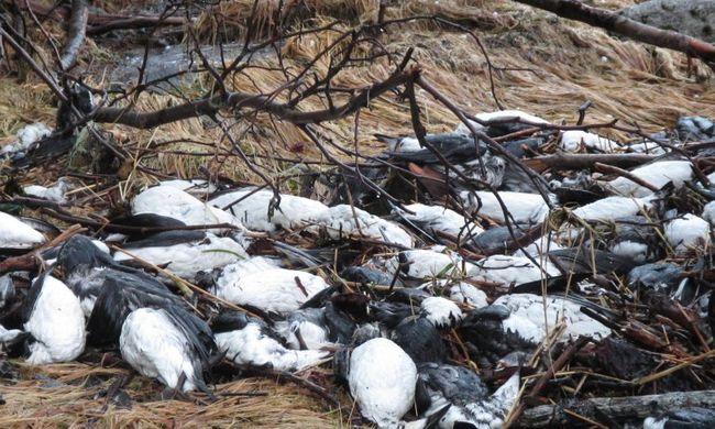 Több ezer madártetemet találtak a tengerparton