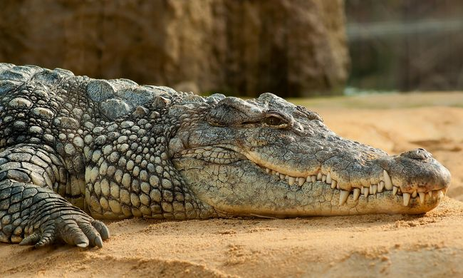 Hetven fagyasztott krokodilt foglaltak le