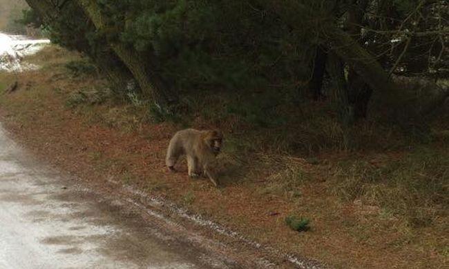Állatkertből szökött páviánt keres a rendőrség