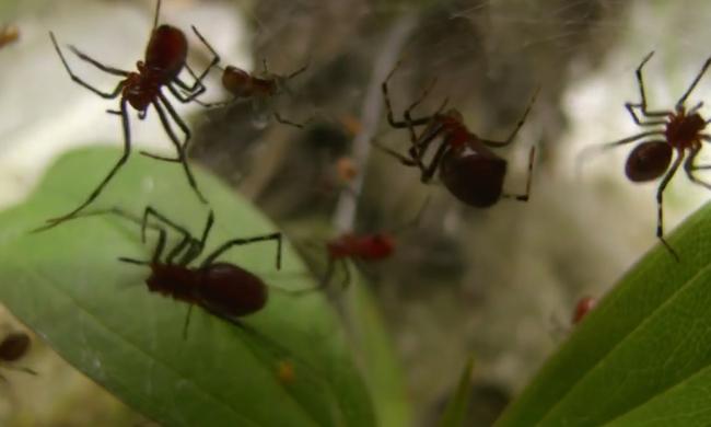 Pókfóbiások rémálma: több tízezer pók egy hálóban - videó