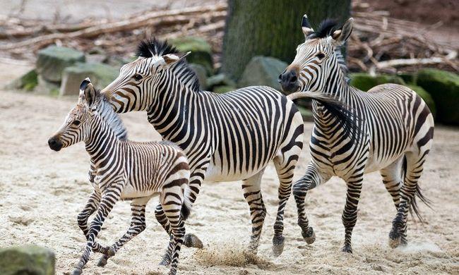 Mégsem az álcázás miatt csíkosak a zebrák