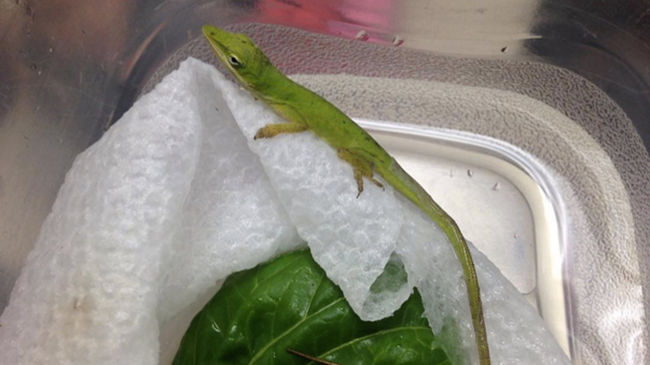 Gyíkot talált az óvodás a menzán a salátájában