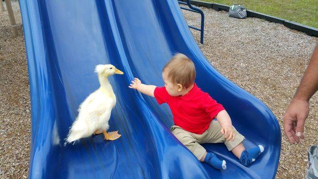 Mindenhova követi a kacsa a kisfiút - elbűvölő képek