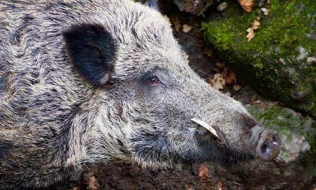Nagyot hibázott a vadász: vaddisznónak hitte a kirándulót, megölte
