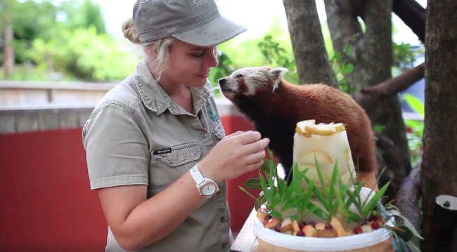 Különleges ajándékot kapott születésnapjára a vörös panda - videó