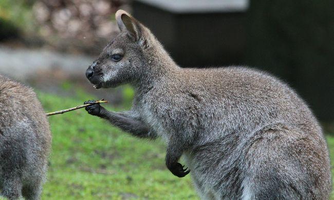 Egy kenguru és egy malac szeretett egymásba