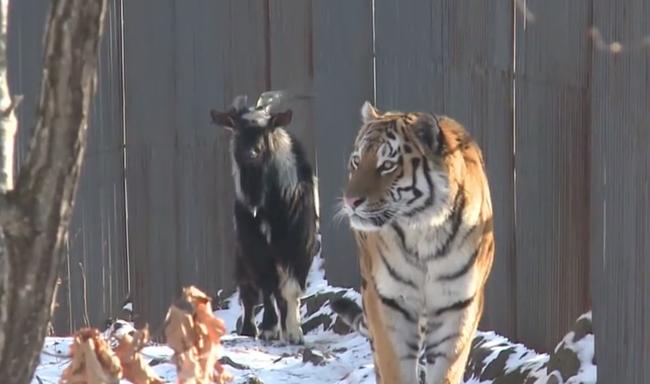 Lelökte a tigris a kecskét a dombtetőről, miután megromlott a barátságuk - videó