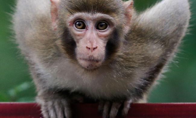 Autistává tettek majmokat, az állatvédők felháborodtak