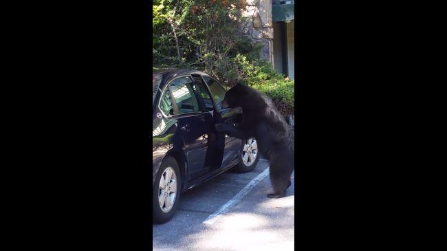 Kinyitotta a kocsiajtót a medve, majd beszállt - videó
