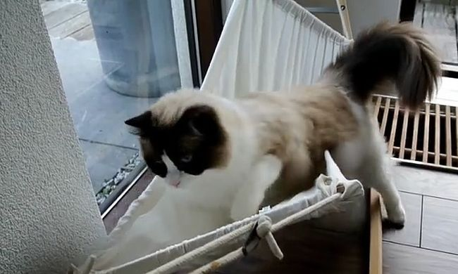 Megvicceli a macskát a gravitáció a függőágyban - videó