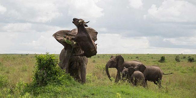 Brutálisan a szundikáló bivalyra támadt az elefánt - képek